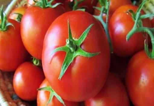 سرمازدگی گوجه فرنگیها در خوزستان … !