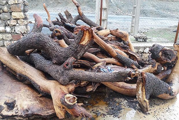 قطع گسترده درختان بلوط در منطقه حفاظت شده شیمبار شهرستان اندیکا + تصاویر
