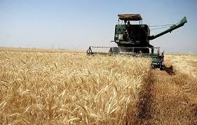 خرید ۲،۲۰۰ تن گندم مازاد بر نیاز کشاورزان این شهرستان اندیکا