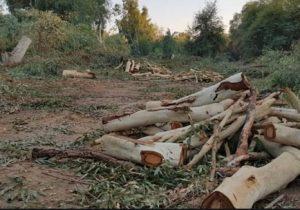 قطع گسترده درختان در مسجدسلیمان بدون مجوز شهرداری !؟