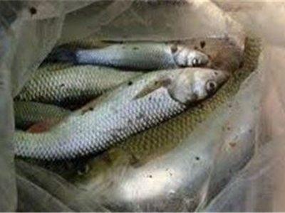 خوزستان قطب پرورش ماهیان گرمابی در کشور
