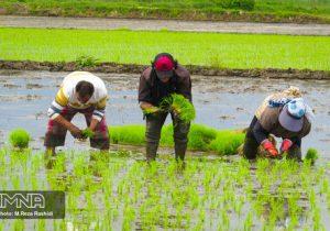 ممنوعیت کشت برنج در خوزستان علیرغم برنجکاری در اصفهان !؟